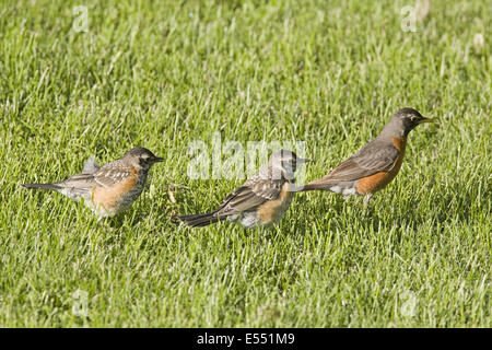 American Robin (Turdus migratorius) adult female with two young, foraging on garden lawn, North Dakota, U.S.A., - Stock Photo
