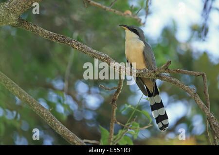 Mangrove Cuckoo (Coccyzus minor) adult, perched on branch, Trinidad, Trinidad and Tobago, March - Stock Photo