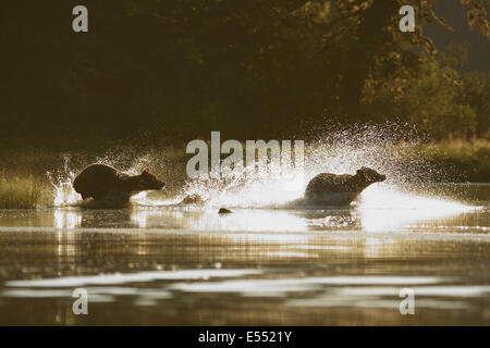 Grizzly Bear (Ursus arctos horribilis) two adults, mother chasing off another bear through water, backlit in evening - Stock Photo