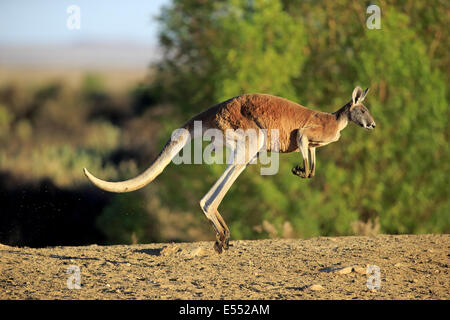 Red Kangaroo (Macropus rufus) adult male, jumping in dry outback, Sturt N.P., New South Wales, Australia, October - Stock Photo