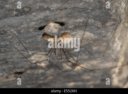Daddy-long-legs Spider (Pholcus phalangioides) adult female, carrying eggs in house, Chipping, Lancashire, England, - Stock Photo