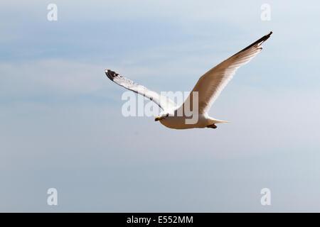 Herring gull (Larus argentatus)  Brighton, East Sussex, England, UK - Stock Photo