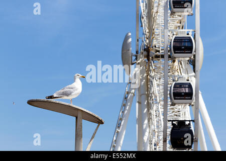 Herring gull (Larus argentatus)  Brighton, East Sussex, England, UK - Stock Photo