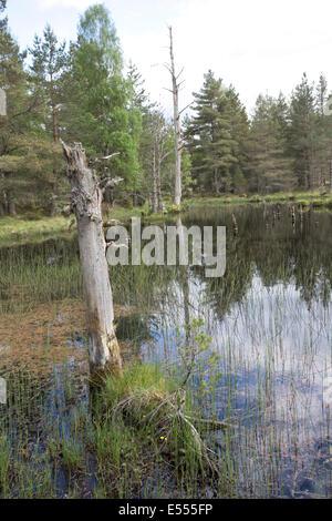 Bog wetland habitat Abernethy National Nature Reserve Loch Garten Speyside Scotland - Stock Photo