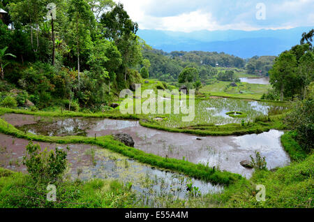 Rice terraces, Rantepao, Toraja highlands, Tana Toraja, Sulawesi, Indonesia - Stock Photo