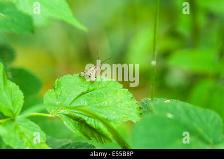 A male Scorpionfly, Panorpa communis, resting on nettle, Urtica dioica - Stock Photo