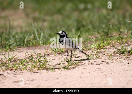 Pied or White wagtail in Poland - Stock Photo