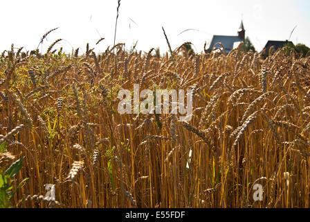 Wheat field with church in Roztocze, Poland - Stock Photo