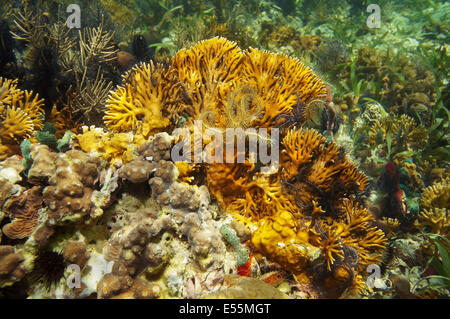 branching fire coral, Millepora alcicornis with brittle stars, Caribbean sea - Stock Photo