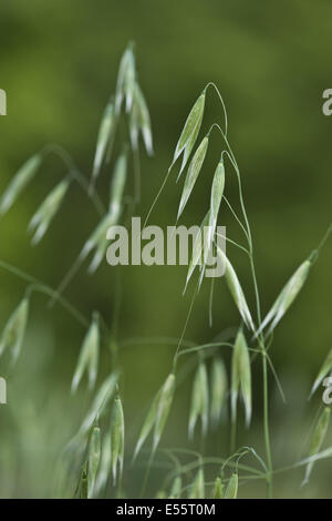 common wild oat, avena fatua - Stock Photo