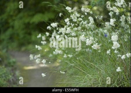 lesser wood-rush, luzula nivea - Stock Photo
