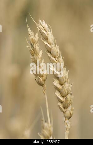 common wheat, triticum aestivum - Stock Photo