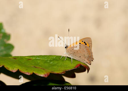 Small copper butterfly Lycaena phlaeas on strawberry leaf - Stock Photo