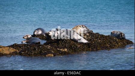 UK, Wales, Gwynedd, Lleyn peninsula, Bardsey Island, Atlantic Grey Seals, Halichoerus grypus - Stock Photo
