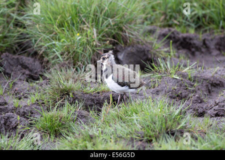 Lapwing or Peewit Highland Wildlife Park Kincraig Inverness Scotland - Stock Photo