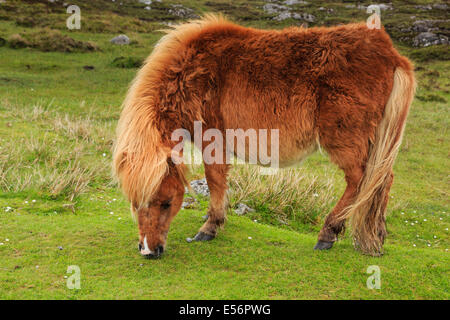 Wild brown pony with thick shaggy coat grazing on moorland grass. Loch Druidibeg National Nature Reserve South Uist - Stock Photo