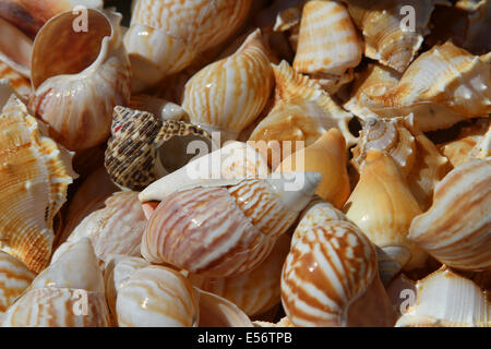 Collection of shells collected in the sea for collectors - Stock Photo