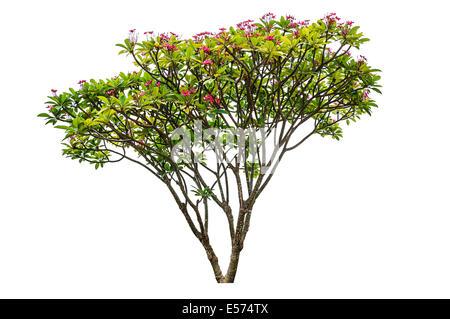 Plumeria flowers tree isolated on white background - Stock Photo