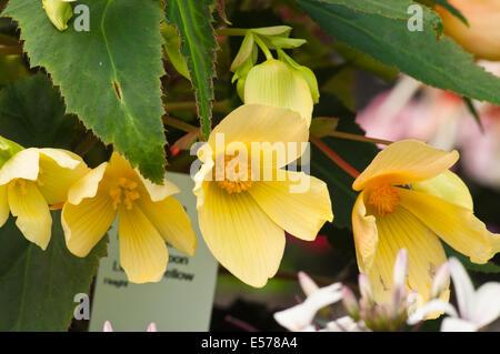 yellow Begonia × tuberhybrida Commonly Known as Tuberous Begonias - Stock Photo