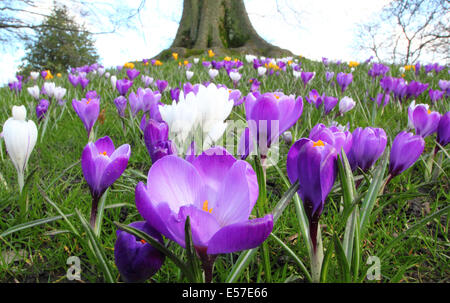 A tree underplanted with spring flowering purple croc at Sheffield  Botanical Gardens, Yorkshire, UK - Stock Photo