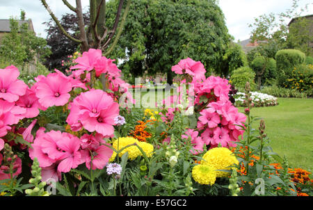Pink Lavatera in full bloom at Bath Gardens in Bakewell town centre, Peak District, Derbyshire, UK - Stock Photo