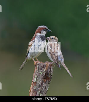 Male And Female House Sparrows-Passer domesticus Perched On A Tree Stump. Summer. Uk. - Stock Photo