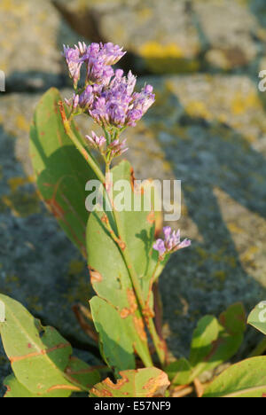 common sea lavender, limonium vulgare - Stock Photo