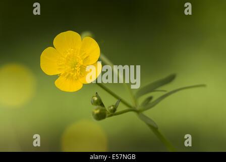 tall buttercup, ranunculus acris - Stock Photo