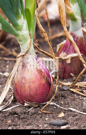 Allium cepa. Onion Long Red Florence growing in the vegetable garden. - Stock Photo