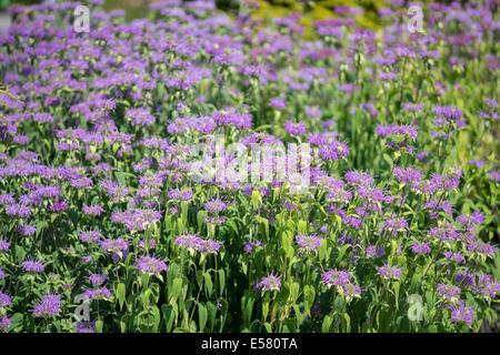 Bee balm bergamot Monarda didyma flowers - Stock Photo