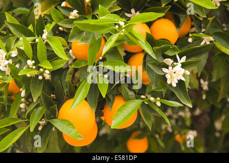 Orange tree with flowers and fruits, Algarve, Portugal - Stock Photo