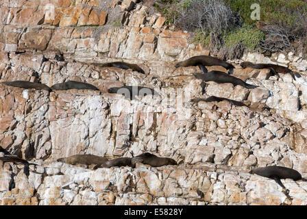Harbor seals (Phoca vitulina) on rocks, Plettenberg Bay, Garden Route, District Eden, Western Cape, South Africa - Stock Photo