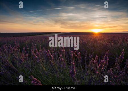 Lavender field in evening light, Plateau de Valensole in Valensole, Provence, Provence-Alpes-Côte d'Azur, France - Stock Photo