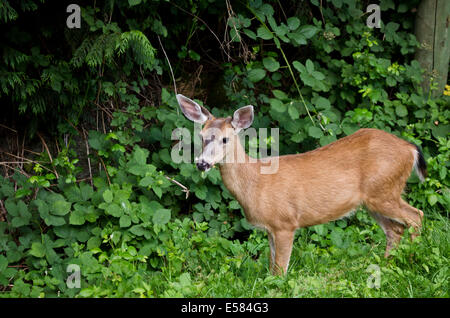 Young male mule deer eating lush green vegetation by the side of the road in Belcarra, British Columbia (Greater - Stock Photo