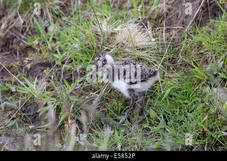 Lapwing or Peewit chick Vanellus vanellus Highland Wildlife Park Kincraig Inverness Scotland - Stock Photo