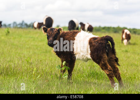 Brown Belted Galloway calf. Crawton N.E. Scotland UK - Stock Photo