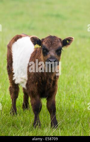 Brown Belted Galloway calf. Crawton N.E. Scotland UK - Stock Photo