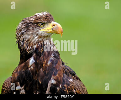 A white tailed sea Eagle, Haliaeetus Albicilla - Stock Photo