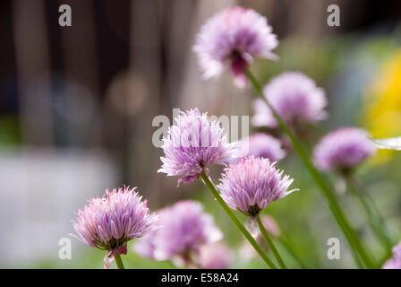 Close up on the purple flowers of flowering chives in an English herb garden, UK - Stock Photo