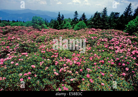 Rhododendron garden,Roan Mountain State Park,Tennessee - Stock Photo