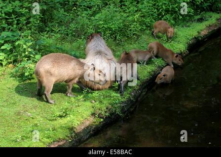 Group of  Capybaras (Hydrochoerus hydrochaeris) at the water's edge - Stock Photo