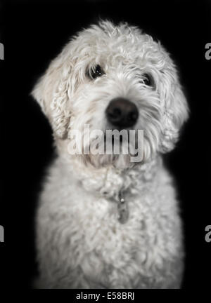 Pic Shows a Labradoodle dog - Stock Photo