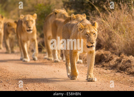 KRUGER NATIONAL PARK, SOUTH AFRICA - Lions hunting near Biyamiti Camp. Panthera leo - Stock Photo