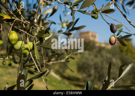 An old couple work on the olive harvest for the Protine Estate near Castellina in Chianti,  Italy. - Stock Photo