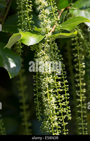 Close view of the dangling July racemes of the wall shrub / small tree, Itea ilicifolia - Stock Photo