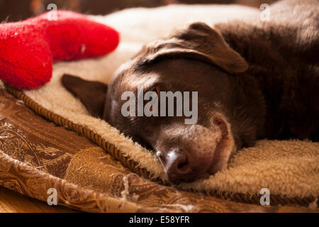 A Chocolate Lab laying down on her bed with a red bone laying nearby. Ontario, Canada. - Stock Photo