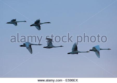 Germany, Schleswig-Holstein, Whooper swans, Cygnus cygnus, and Mute swans, Cygnus olor, flying - Stock Photo