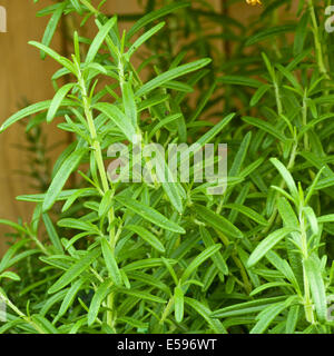 Rosmarinus officinalis commonly known as Rosemary - Stock Photo