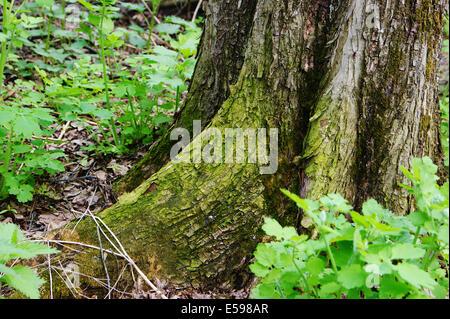 big tree roots - Stock Photo
