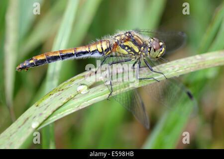 Black Darter Sympetrum danae female - Stock Photo